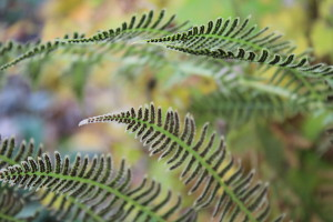fractal-ferns-LadY-DragonflyCC-Flickr